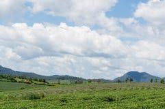 Il campo di tè Immagini Stock