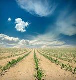 Campo dei germogli del cereale sopra cielo blu Fotografie Stock