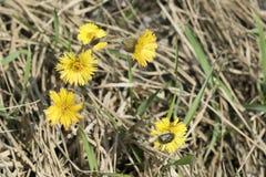 Il campo giallo fiorisce la fioritura in un prato Fаrfara di Tussilаgo fotografie stock