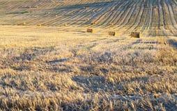 Il campo ha effettuato il raccolto del grano Fotografia Stock Libera da Diritti