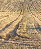 Il campo ha effettuato il raccolto del grano Immagine Stock Libera da Diritti