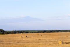 Il campo ha effettuato il raccolto del grano Immagini Stock Libere da Diritti