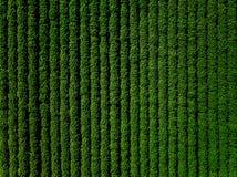 Il campo verde del paese della patata con la fila allinea, vista superiore, foto aerea fotografie stock libere da diritti