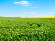Il campo verde fertile con il trattore rintracciato segue il giorno di estate non soleggiato con cielo blu Fotografie Stock