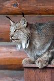 Il Canada Lynx Fotografia Stock