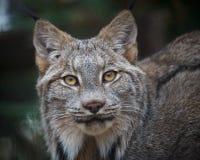 Il Canada Lynx Fotografia Stock Libera da Diritti