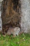 Il Canada Lynx (canadensis) di Lynx Kitten Crawls Out dall'albero vuoto Fotografie Stock Libere da Diritti