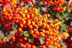 Il Canada o color ruggine Buffaloberry Fotografia Stock