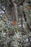Il canarino si è appollaiato su una quercia con un insetto sul picco a Zahara Natura, architettura, fauna selvatica, fotografia d immagini stock libere da diritti