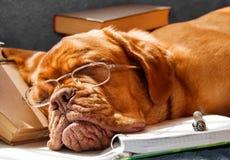 Il cane è caduto addormentato Fotografia Stock