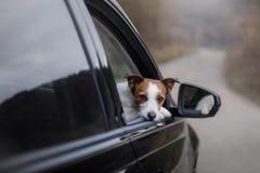 Il cane è nell'automobile viaggio dell'animale domestico Immagini Stock