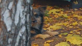 Il cane è triste sotto la betulla video d archivio