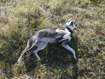 Il cane è venuto a riposarsi sull'erba immagine stock libera da diritti