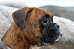 Il cane Immagini Stock