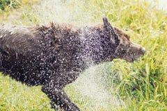Il cane agita fuori l'acqua Immagini Stock Libere da Diritti