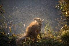 Il cane agita l'acqua fuori Fotografia Stock