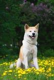 Il cane, Akita Inu si siede su un glade in denti di leone fotografia stock