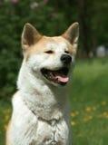 Il cane, Akita Inu si siede su una sosta Fotografie Stock Libere da Diritti