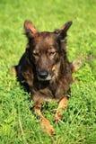 il cane alsaziano sta riposando nell'erba Fotografie Stock Libere da Diritti