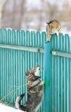 Il cane arrabbiato ha inseguito il gatto su un alto di legno recinta il villaggio Fotografia Stock Libera da Diritti