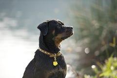 Il cane bagnato ascolta Fotografie Stock Libere da Diritti
