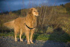 Il cane bagnato ha proposto all'indicatore luminoso di pomeriggio. Fotografie Stock