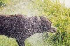 Il cane bagnato scuote l'acqua fuori Fotografia Stock Libera da Diritti