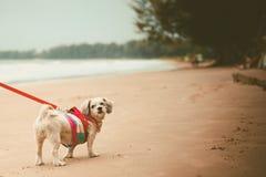 Il cane bianco di tzu di Shih dei peli di scarsità con sveglio copre ed il guinzaglio rosso sulla spiaggia Immagini Stock
