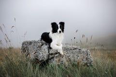 Il cane in bianco e nero border collie mette sulla roccia in nebbia con i fiori immagini stock