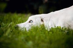 Il cane bianco ha messo la sua testa sull'erba Fotografia Stock