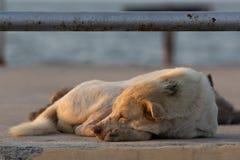 Il cane bianco si è accartocciato felicemente e dormito fotografie stock