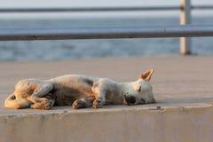 Il cane bianco si è accartocciato felicemente e dormito fotografia stock