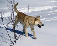 Il cane bianco trotta attraverso la foresta nevosa Fotografia Stock Libera da Diritti