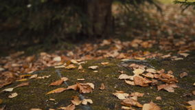 Il cane cammina fra le foglie cadute nella foresta di autunno archivi video