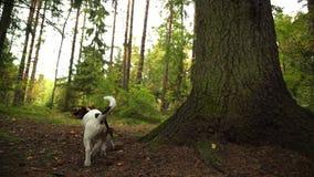 Il cane cammina fra le foglie cadute nella foresta di autunno video d archivio