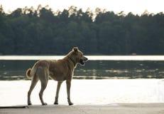 Il cane che aspetta pazientemente il proprietario vicino al lago Fotografie Stock