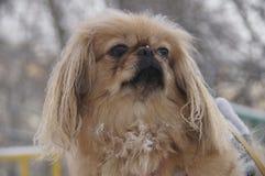 Il cane che esamina la distanza immagini stock libere da diritti