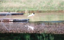 Il cane che salta in acqua fotografia stock libera da diritti