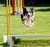 Il cane che salta alla prova dell'agilità Fotografie Stock Libere da Diritti