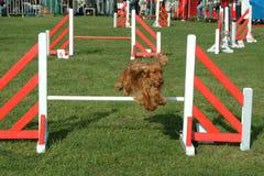 Il cane che salta in concorrenza l'esposizione Immagine Stock Libera da Diritti