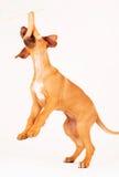 Il cane che salta per la salsiccia Fotografie Stock Libere da Diritti