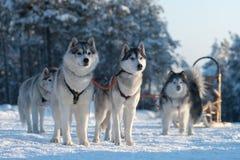 Il cane che sledding sulla natura sui precedenti della foresta di inverno fotografia stock