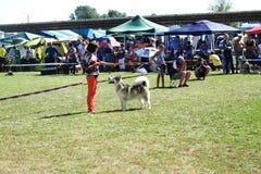 Il cane con è operatore sul concorso Immagini Stock