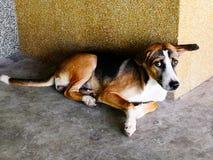 Il cane con marrone osserva e tre colori dei peli sono il nero, bianco Fotografia Stock Libera da Diritti