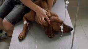 Il cane con un catetere si trova in una clinica veterinaria archivi video
