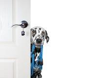 Il cane con un guinzaglio dà una occhiata a fuori da dietro la porta immagine stock libera da diritti