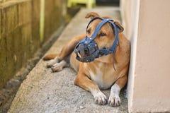 Il cane con una vecchia museruola blu sta trovandosi sul pavimento di calcestruzzo a casa Fotografia Stock