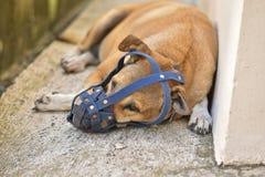 Il cane con una vecchia museruola blu sta trovandosi sul pavimento di calcestruzzo a casa Fotografie Stock