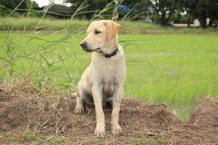 Il cane crema si siede sul campo Fotografie Stock Libere da Diritti