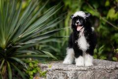 Il cane crestato cinese mette sulle scale in natura sul sole immagine stock libera da diritti